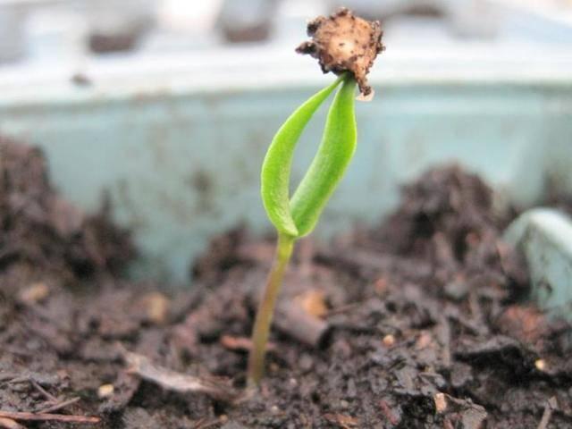 Выращиваем рассаду перца: как правильно сажать семена