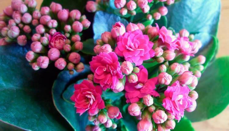 Каланхоэ каландива: все об уходе за цветком в домашних условиях