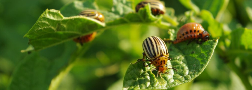 Помогает ли горчица от личинок колорадского жука?