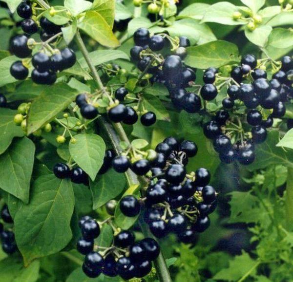 Санберри: польза, выращивание, уход, рецепты, видео