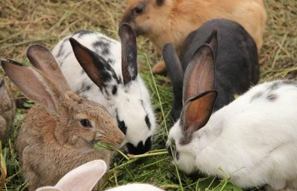 Соликокс - надежное средство от болезней кроликов