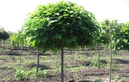 Шелковица в сибири: выращивание, уход, описание с фото
