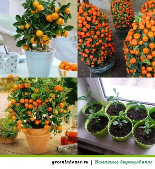 Мандарин в домашних условиях: выращивание из косточек