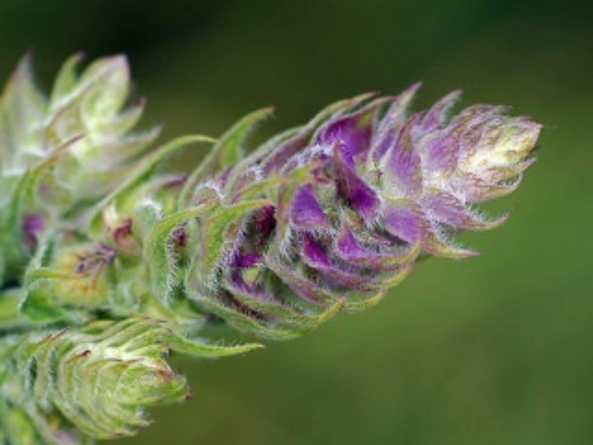 Шалфей мускатный: лекарственные свойства и применение