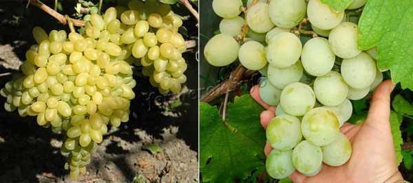 Лучшие винные сорта винограда: описания и характеристики