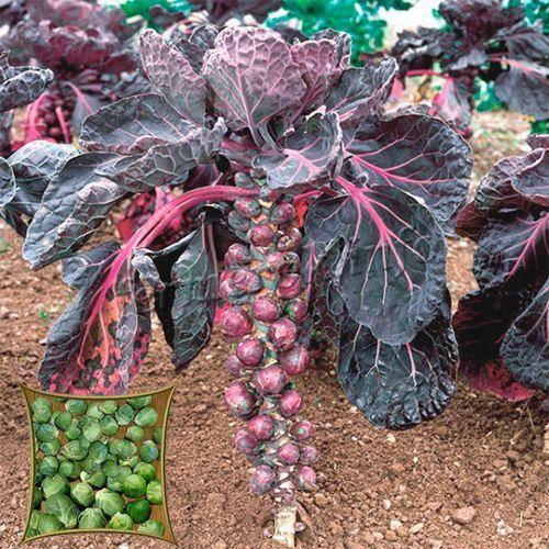 Брюссельская капуста - выращивание и уход в россии, выбор сорта