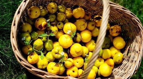 Чем может быть полезна и вредна для здоровья человека японская айва