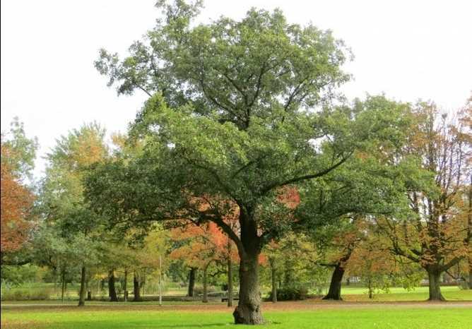 Ива: фото дерева и листьев, описание, разновидности
