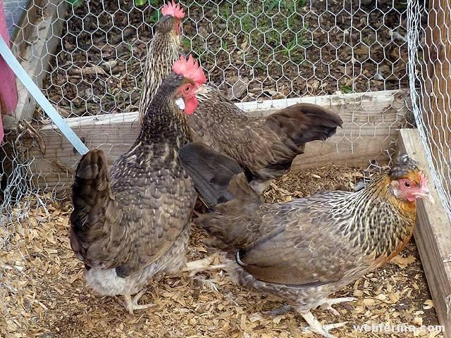 Куры падают на ноги — причины и лечение болезней. почему курицы, цыплята и бройлеры валятся с лап, что делать