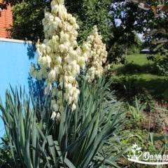 Юкка садовая: сорта, посадка и уход