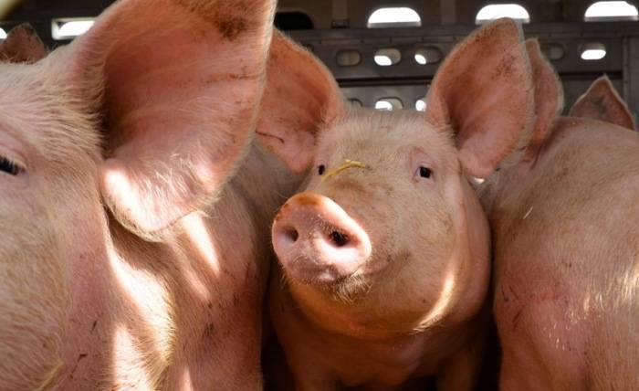 С чего начать разведение свиней как бизнес и как преуспеть