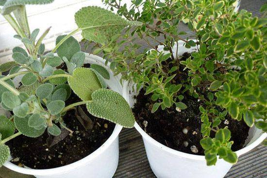 Выращиваем шалфей на даче: размножение, уход и виды шалфея