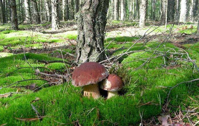 Как правильно собирать грибы в лесу самостоятельно