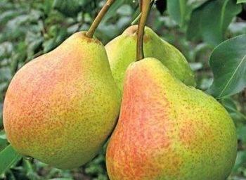 Сорт груши «сказочная»: характеристики и особенности выращивания