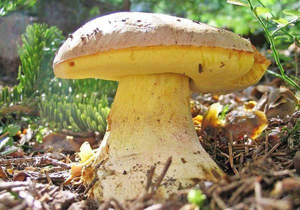 Белый гриб: описание, виды, фото
