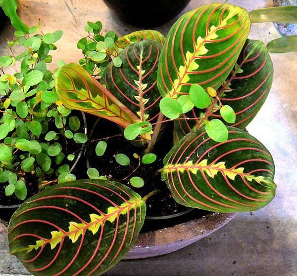 Маранта (maranta). выращивание, уход, формирование растения.