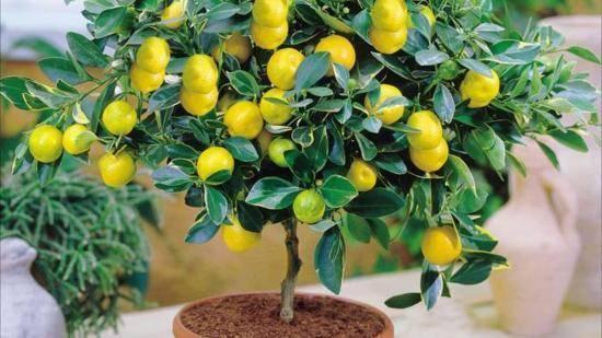 Чем подкормить комнатный лимон
