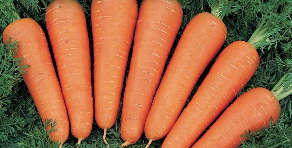 Удобрения для подкормки моркови в открытом грунте