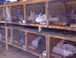 Основные правила содержания кролей