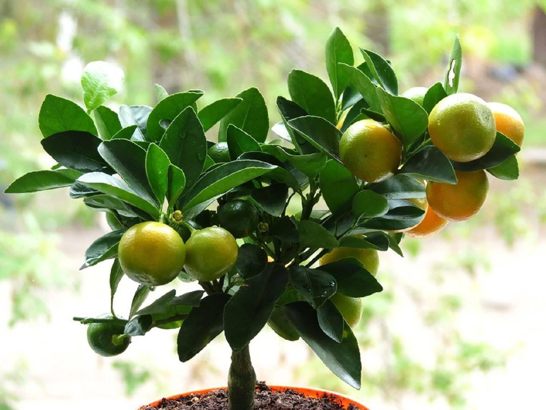 Цитрофортунелла каламондин или комнатный мандарин уход в домашних условиях размножение