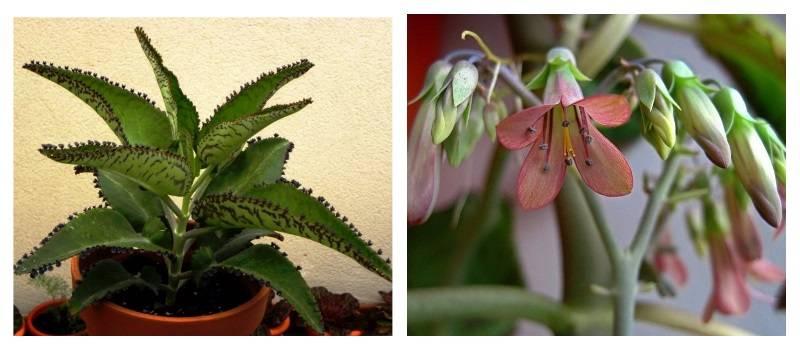 Каланхоэ выращивание и уход в домашних условиях