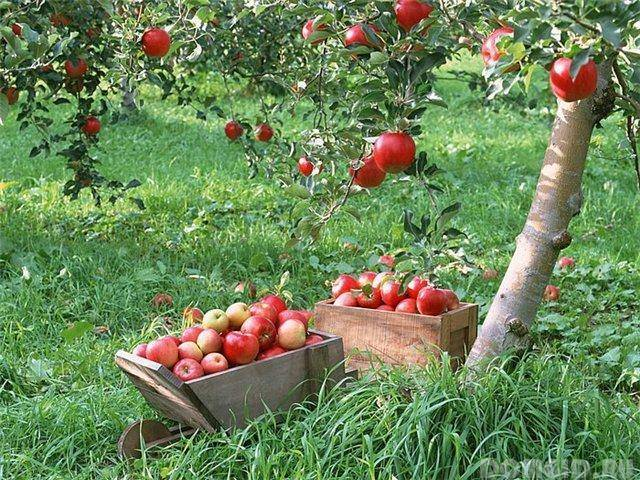 Летние подкормки плодовых садов и ягодников