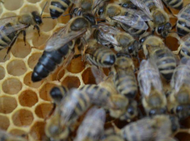 Трутни – члены пчелиного семейства. как оказалось – важные и полезные
