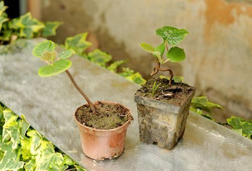 Выращивание актинидии и правила ухода