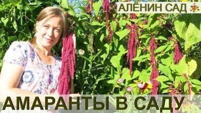 Амарант (ширица) — как посадить и вырастить растение