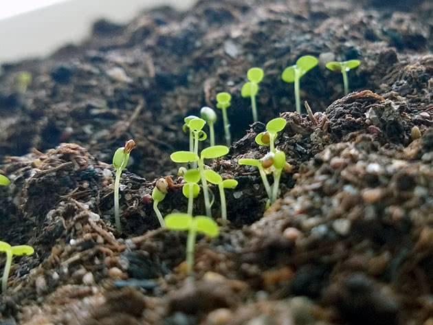 Посадка клубники семенами