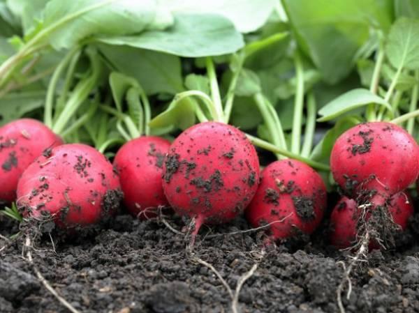 Выращивание редиса: 8 секретов небывалого урожая