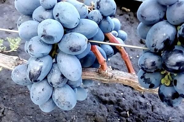 Гибридная форма винограда фурор — особенности сорта и выращивания
