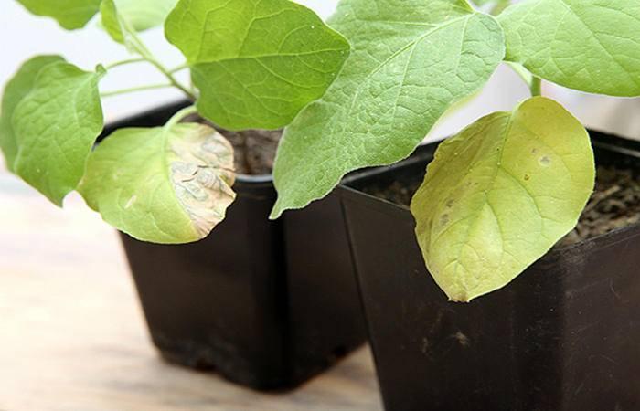 Основные секреты выращивания крепкой рассады баклажанов