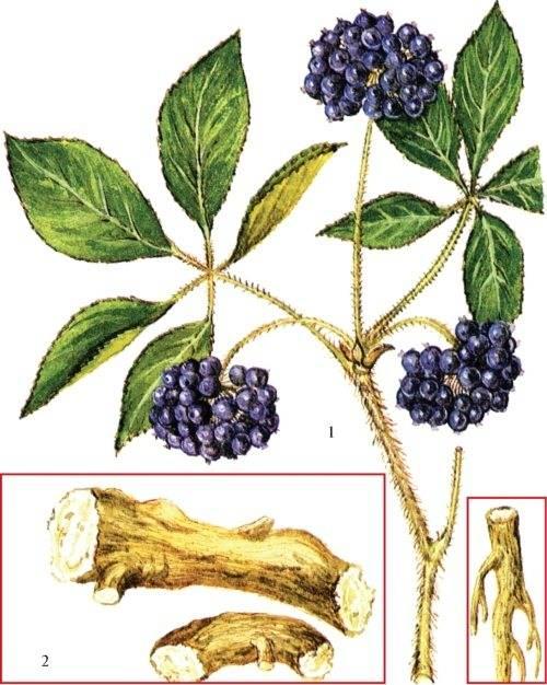 Элеутерококк колючий или сибирский женьшень — лечебное растение