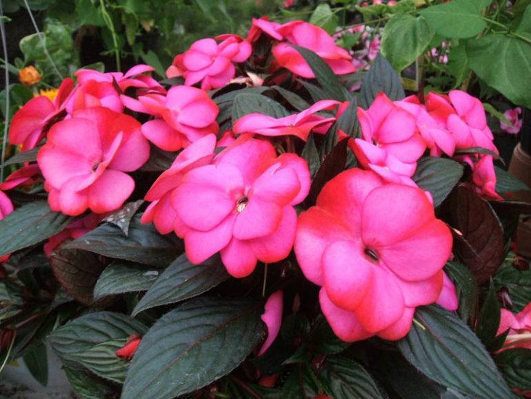 Бальзамин практические совету по уходу и правильному выращиванию
