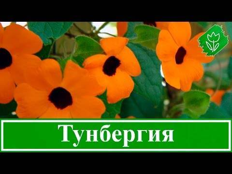 Универсальные цветы тунбергия крылатая для дома и сада
