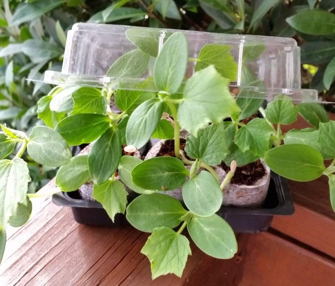 Выращивание рассады огурцов: когда сажать огурцы на рассаду