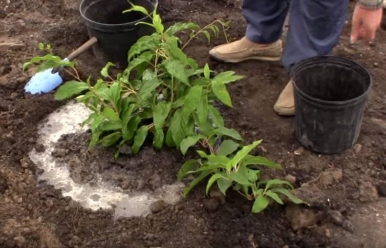 Актинидия: выращивание декоративной лианы на участке. посадка, уход и применение в ландшафтном дизайне.