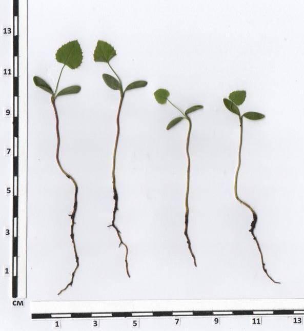Как вырастить хризантему килеватую из семян?