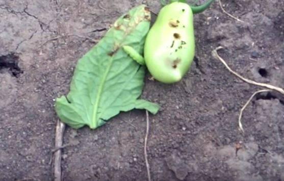 Методы борьбы с совкой на помидорах