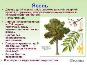 Ясень: описание, фото дерева и листьев