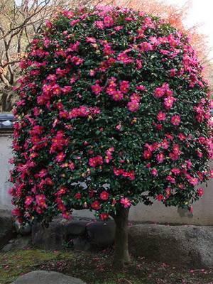Чай или камелия китайская (camellia sinensis). уход, выращивание в домашних условиях.