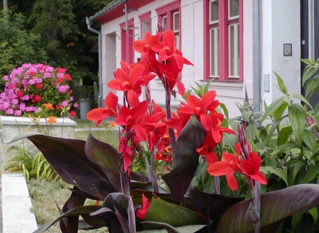 Как вырастить канну в саду: правила посадки и ухода