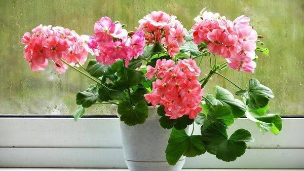 Розебудная пеларгония (rosebud pelargonium)