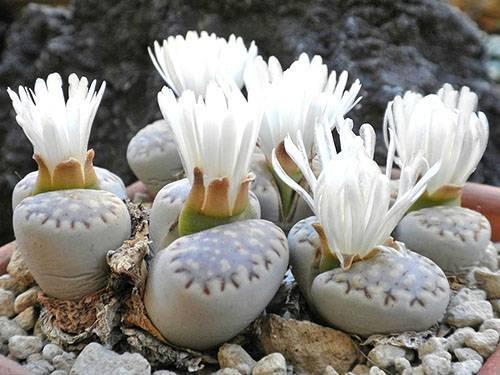 Чудо природы — литопсы. как вырастить их из семян в домашних условиях, можно ли разводить на улице?