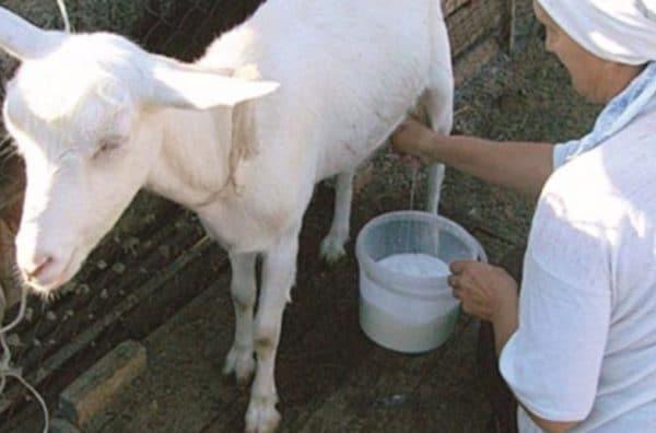 Сколько молока дает коза в сутки