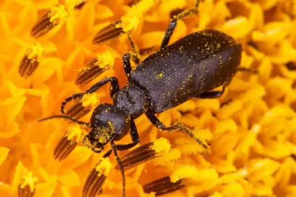 Вред от майского жука и способы борьбы с ним