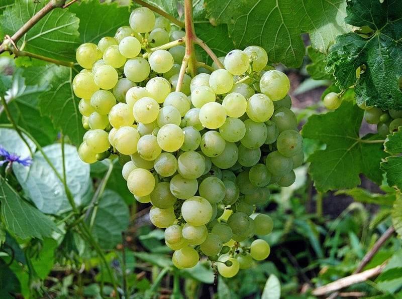Мои сорта девичьего винограда — декоративные и послушные