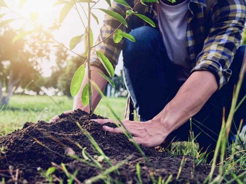 Подкормка сливы для увеличения урожая