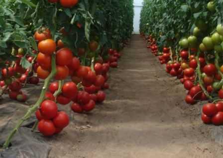 Что это такое индетерминантный сорт помидор?